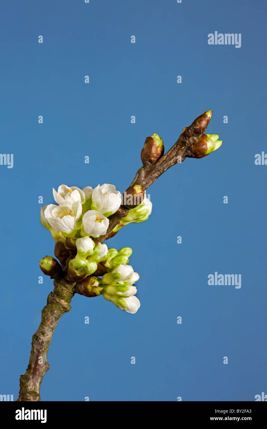 Flowering stage of wild cherry / sweet cherry tree (Prunus avium), Belgium - Stock Image