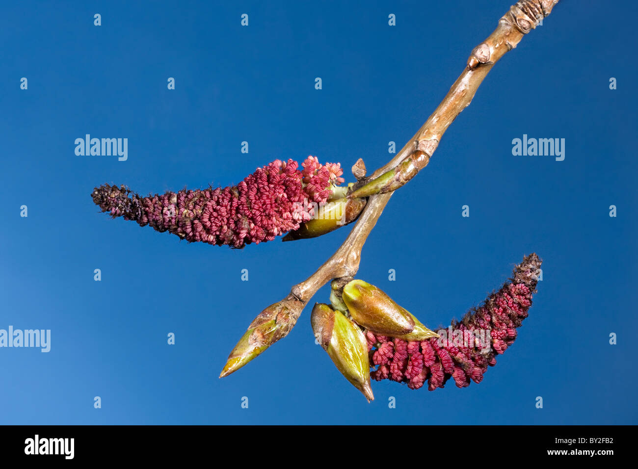 Male catkins and buds of poplar (Populus), Belgium - Stock Image