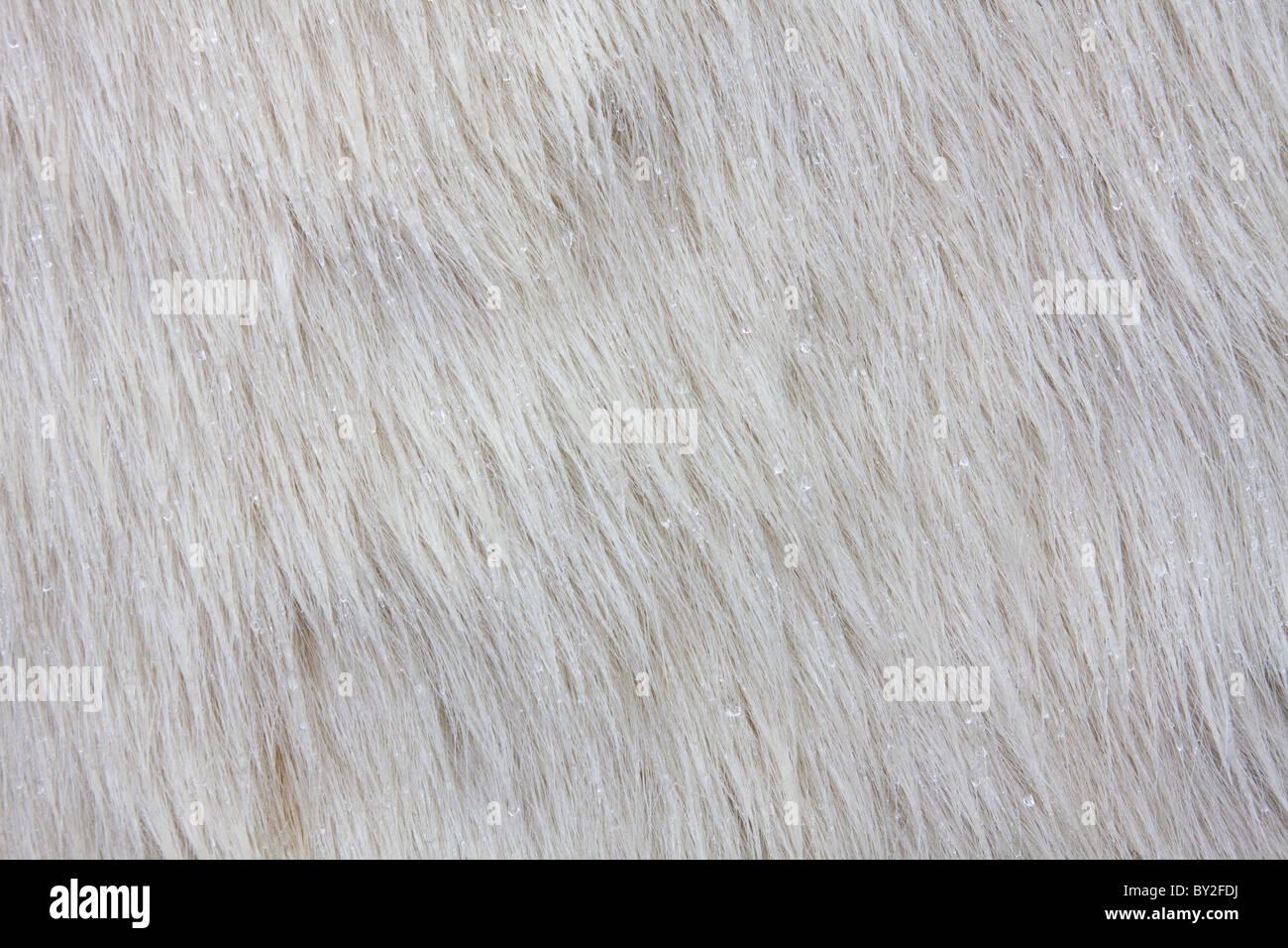 Polar Bear (Ursus maritimus / Thalarctos maritimus) fur close-up, Ilulissat, Disko-Bay, West-Greenland, Greenland - Stock Image