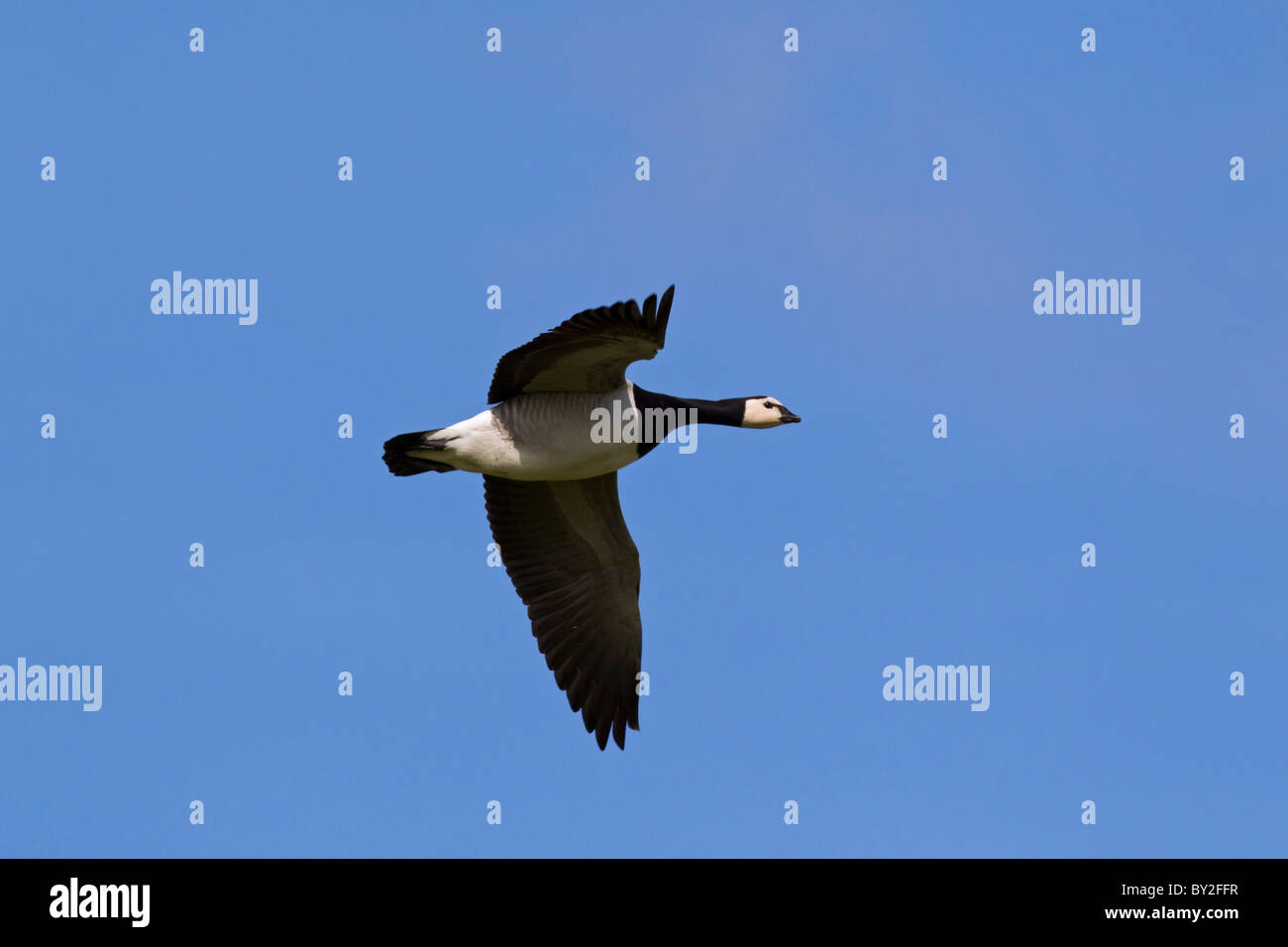 Brandgans (Branta leucopsis) vliegend, Duitsland Barnacle Goose (Branta leucopsis) in flight, Germany - Stock Image
