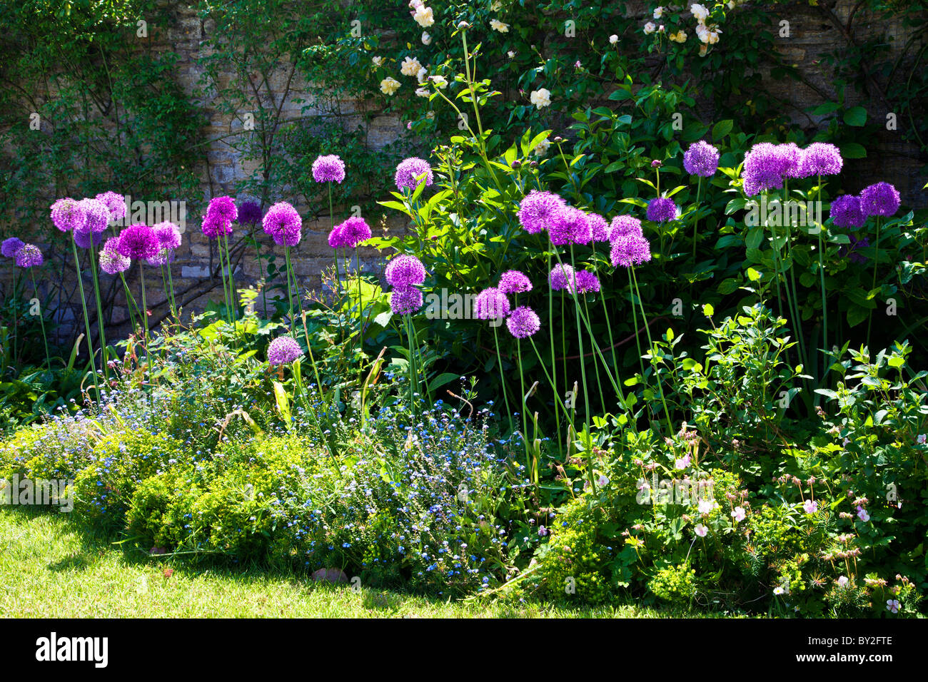 Purple alliums in the border of a walled English country summer garden - Stock Image