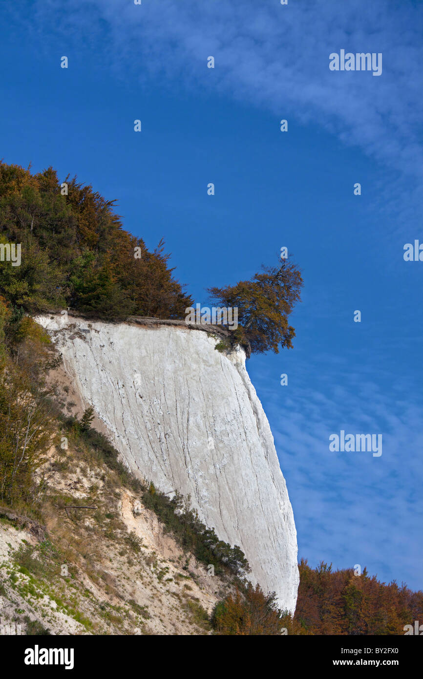 Chalk cliff and tree on the verge of dropping due to erosion in Jasmund National Park on Rugen Island on the Baltic - Stock Image