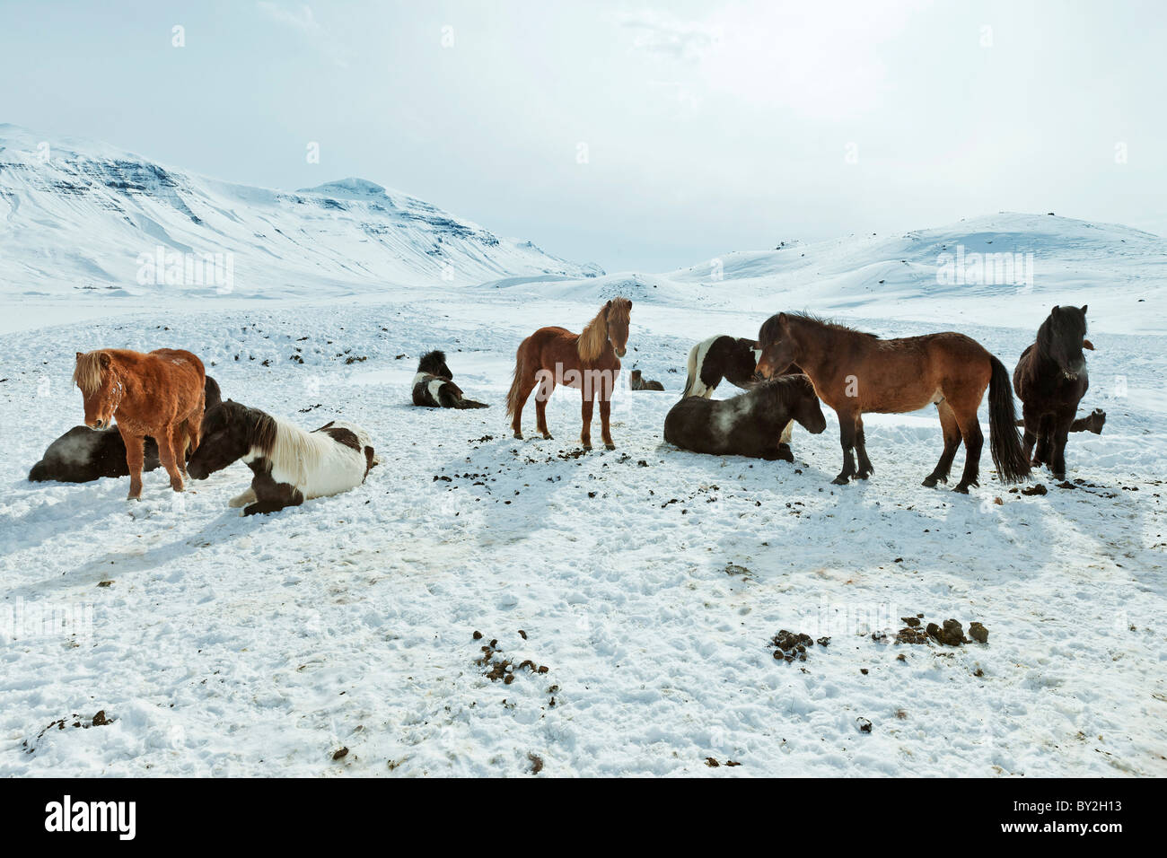 A herd of free-roaming Icelandic horses in the wintertime - Stock Image