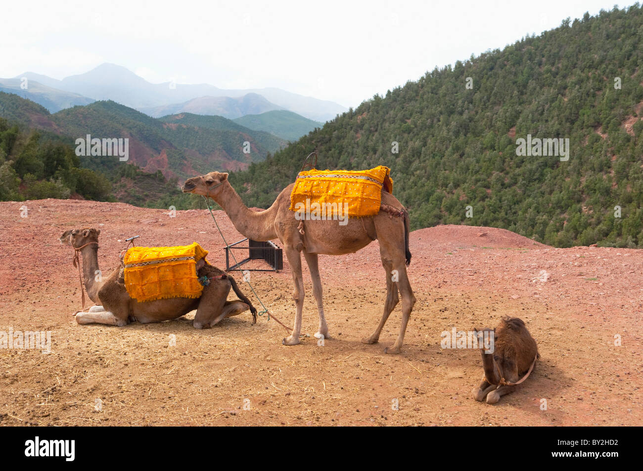Camels at roadside viewpoint in the Ourika Valley, Morocco. - Stock Image