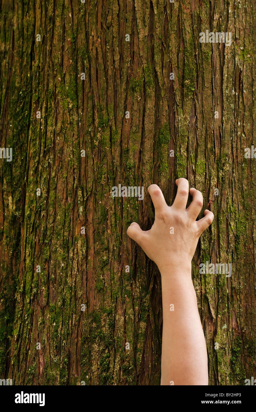 A hand grips the trunk of a cedar tree. - Stock Image