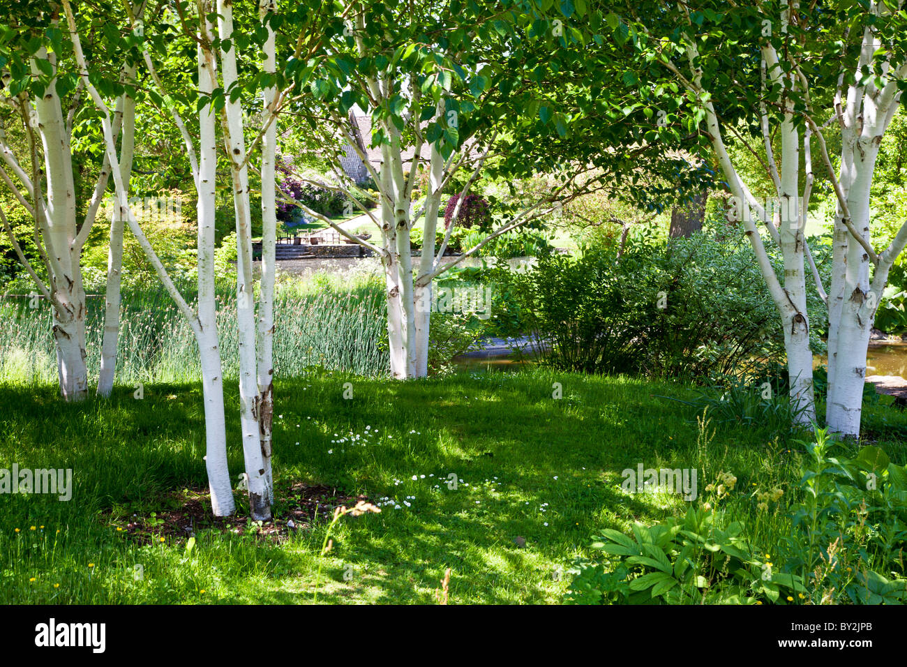 A small shady copse of silver birch trees in an english for Silver birch trees for small gardens