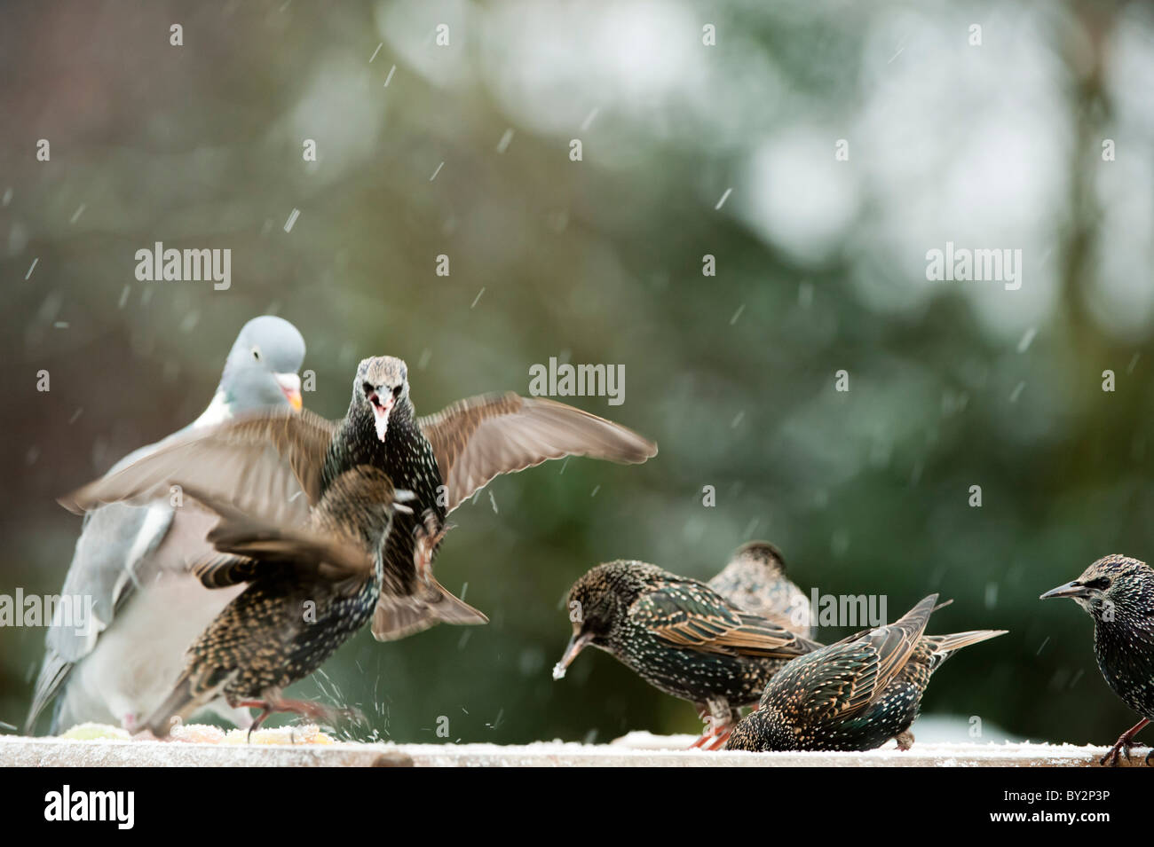 Starling family fighting over food on a bird table in the snow - Stock Image
