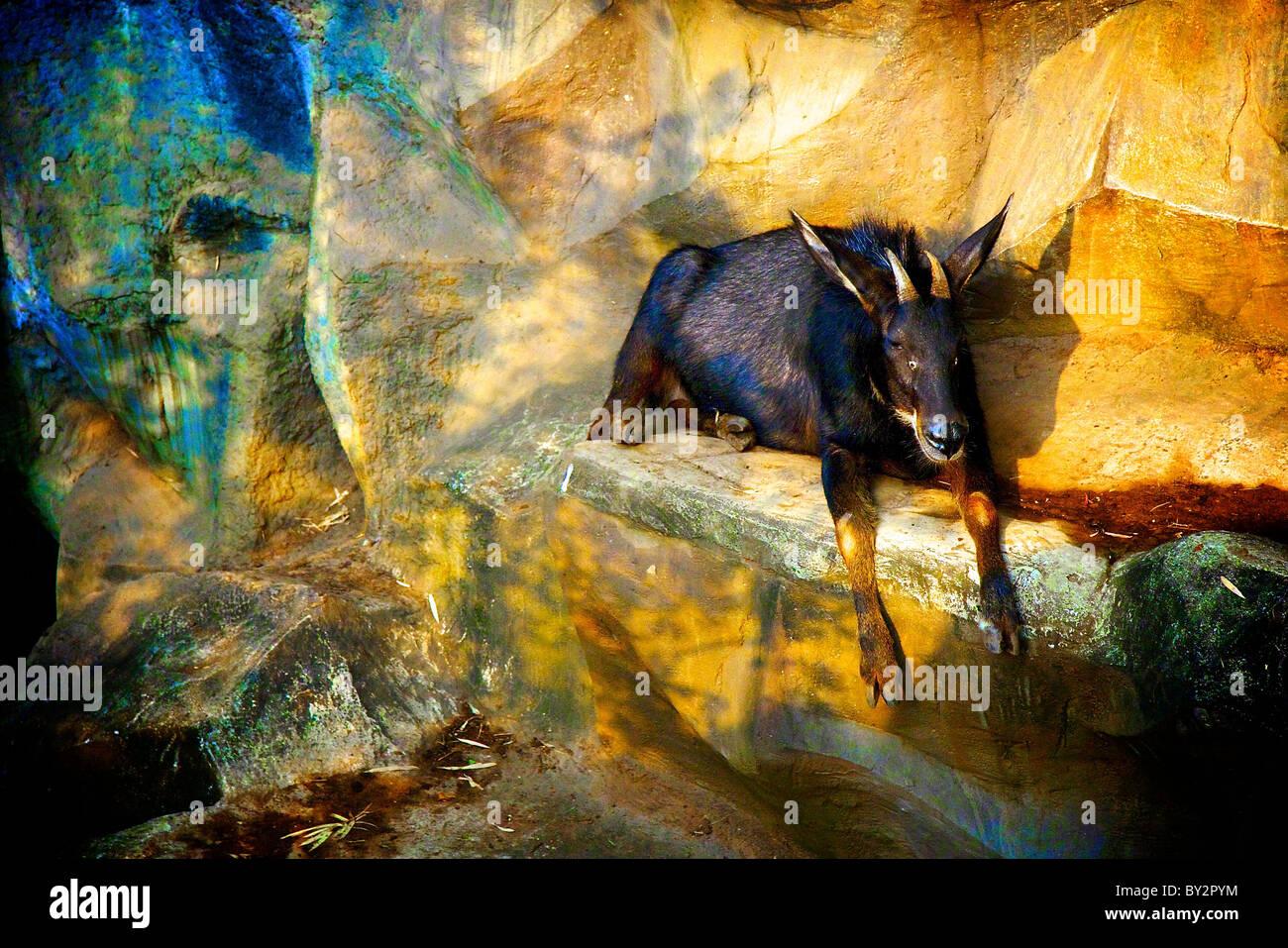 goat taking sun bath Stock Photo