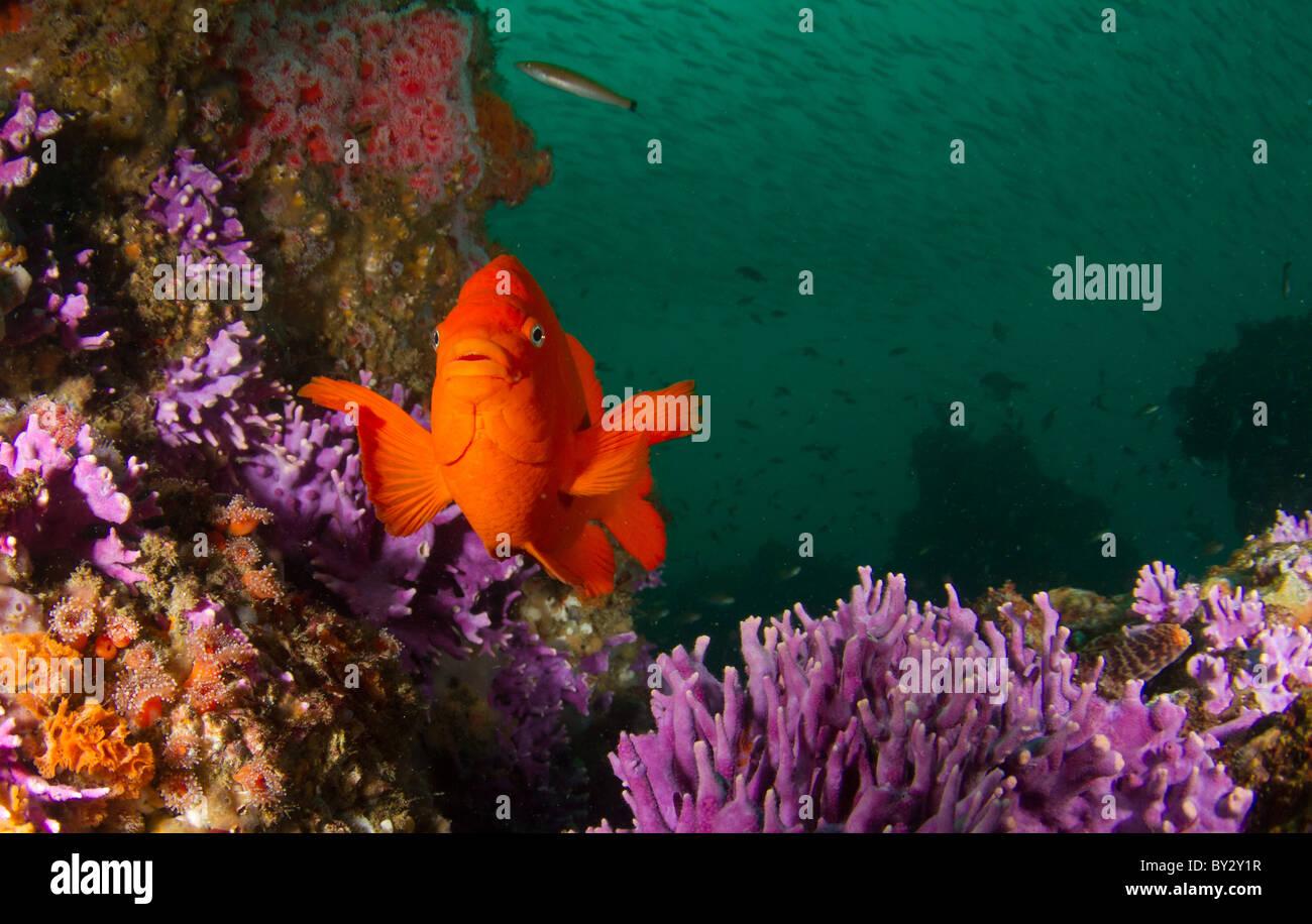 Girabaldi at Farnsworth Bank Reef Stock Photo