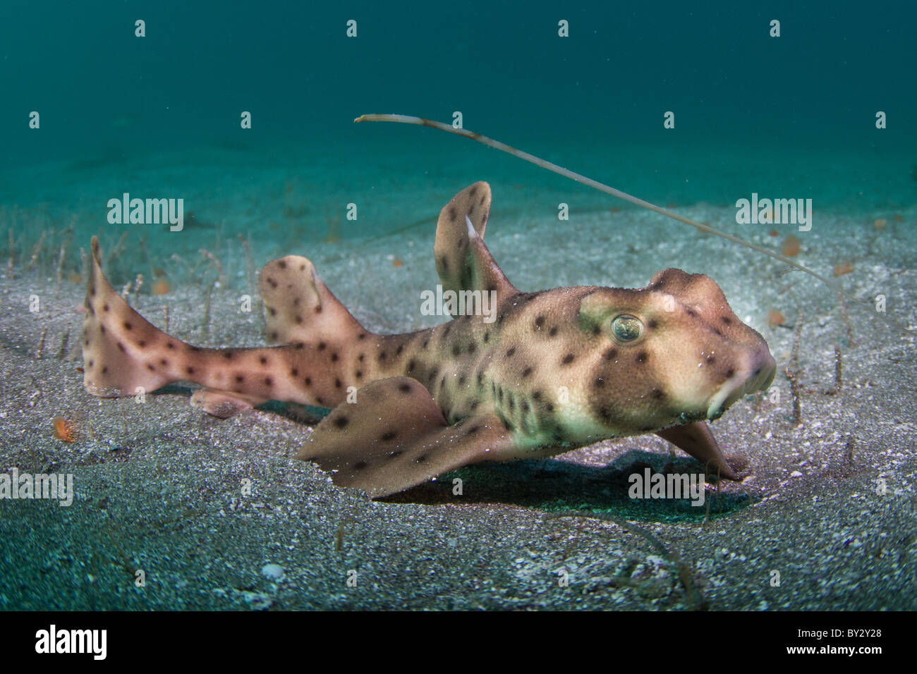 Horn Shark Juvenile in Sand - Stock Image