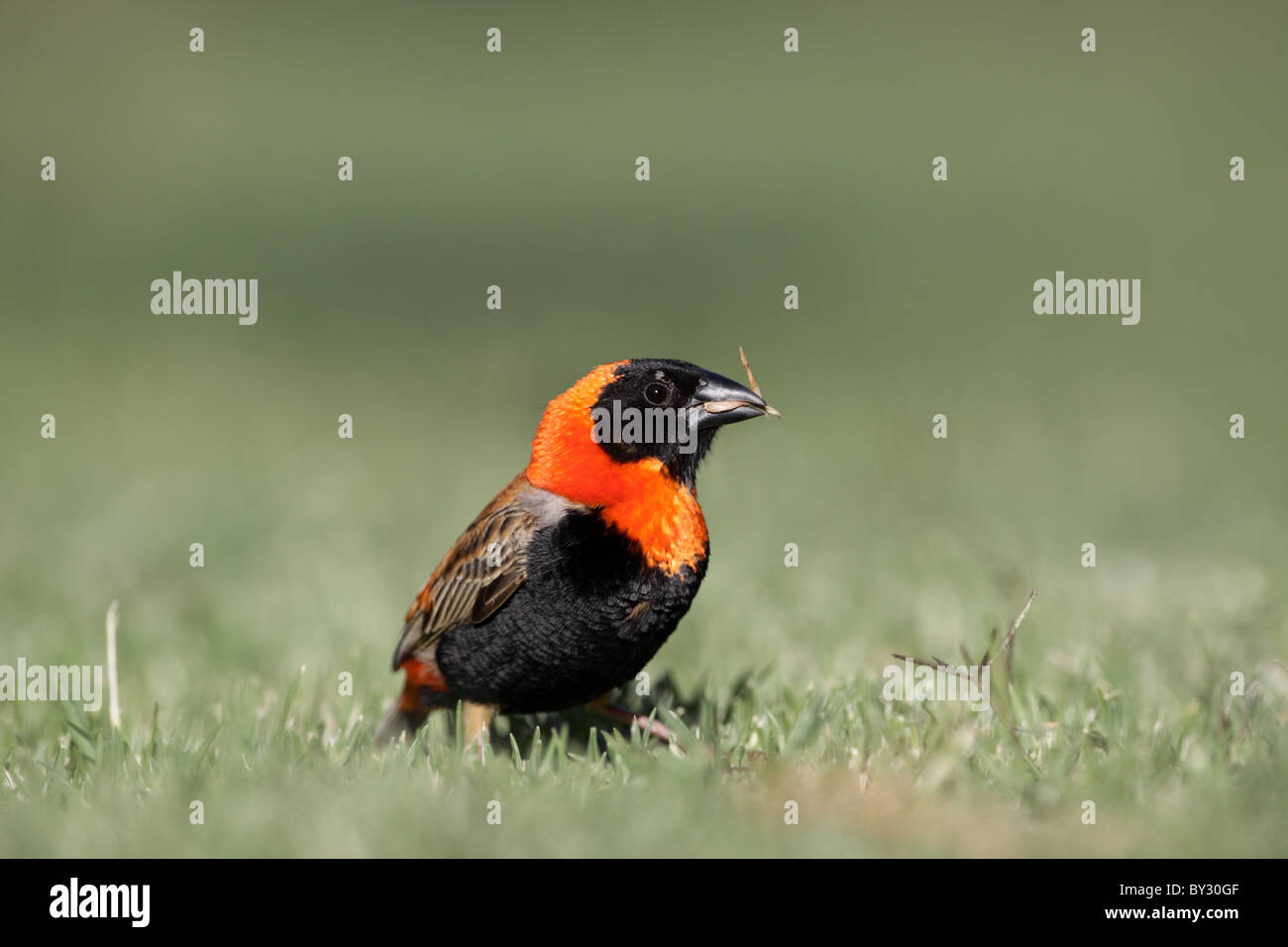 Southern Red Bishop, Euplectes orix, breeding plumage male feeding on seeds at Rietflei Nature Reserve, South Africa - Stock Image
