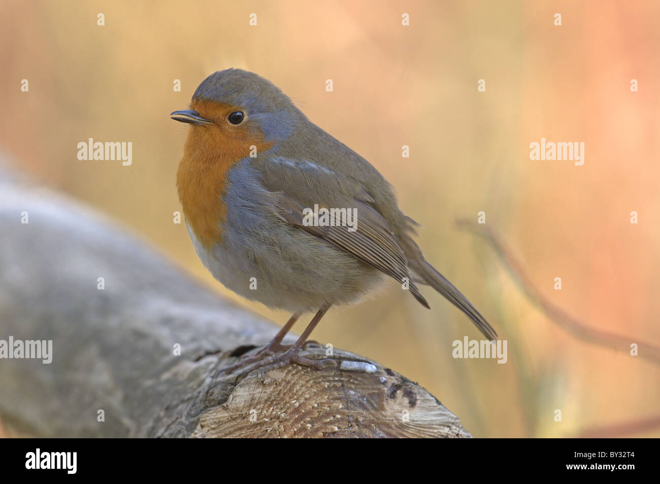 ROBIN ERITHACUS RUBECULA PERCHED ON FENCE. WINTER UK Stock Photo