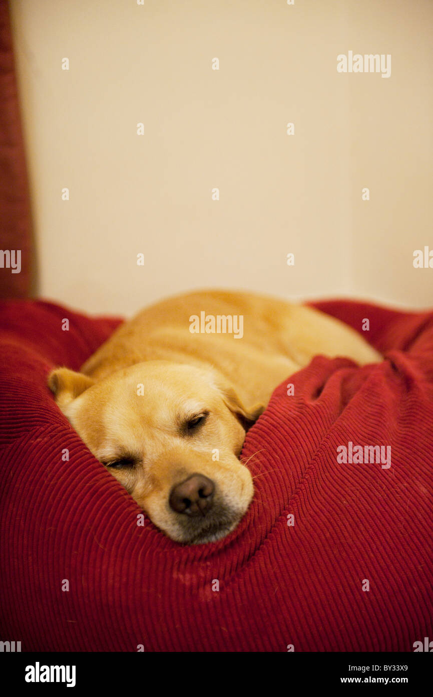 Golden Labrador sleeping in bed - Stock Image