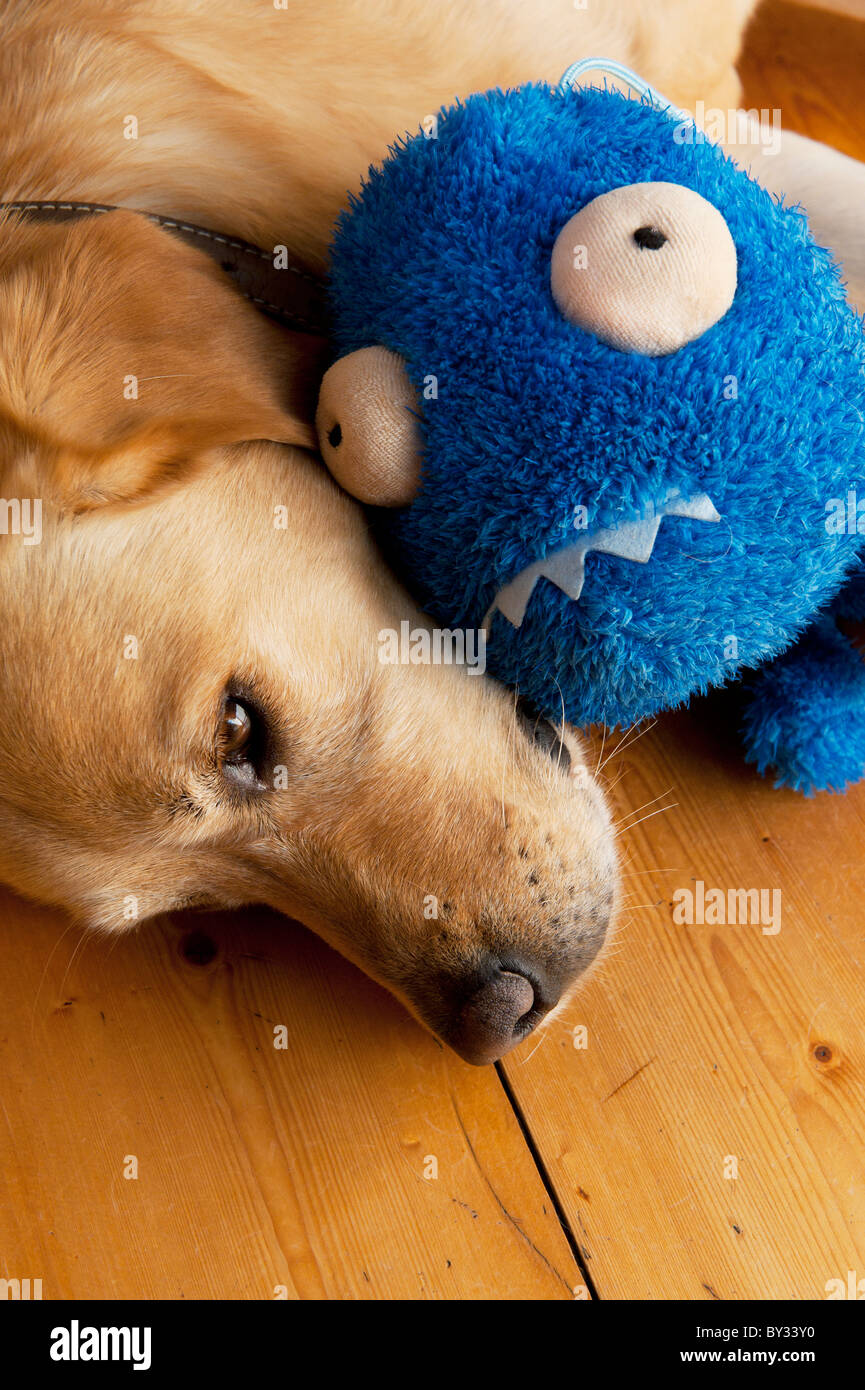 Labrador dog with soft toy - Stock Image