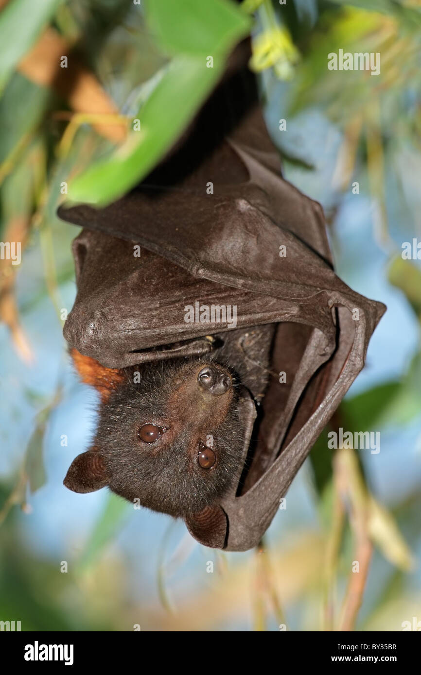 Black flying-fox (Pteropus alecto), Kakadu National Park, Northern territory, Australia - Stock Image