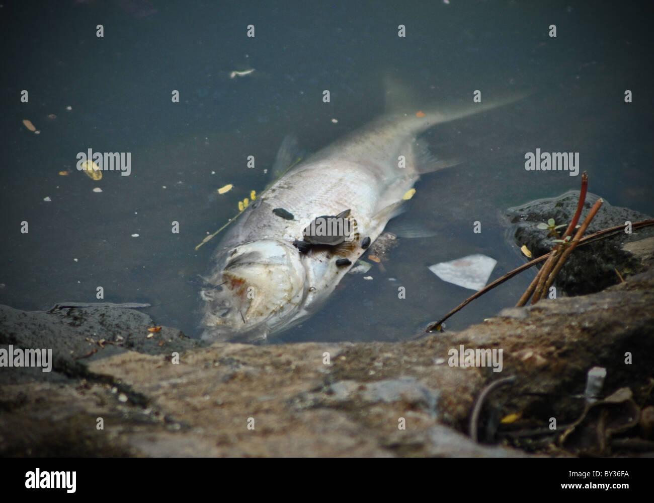 Dead fish in the polluted Hoan Kiem lake, Hanoi, Vietnam - Stock Image