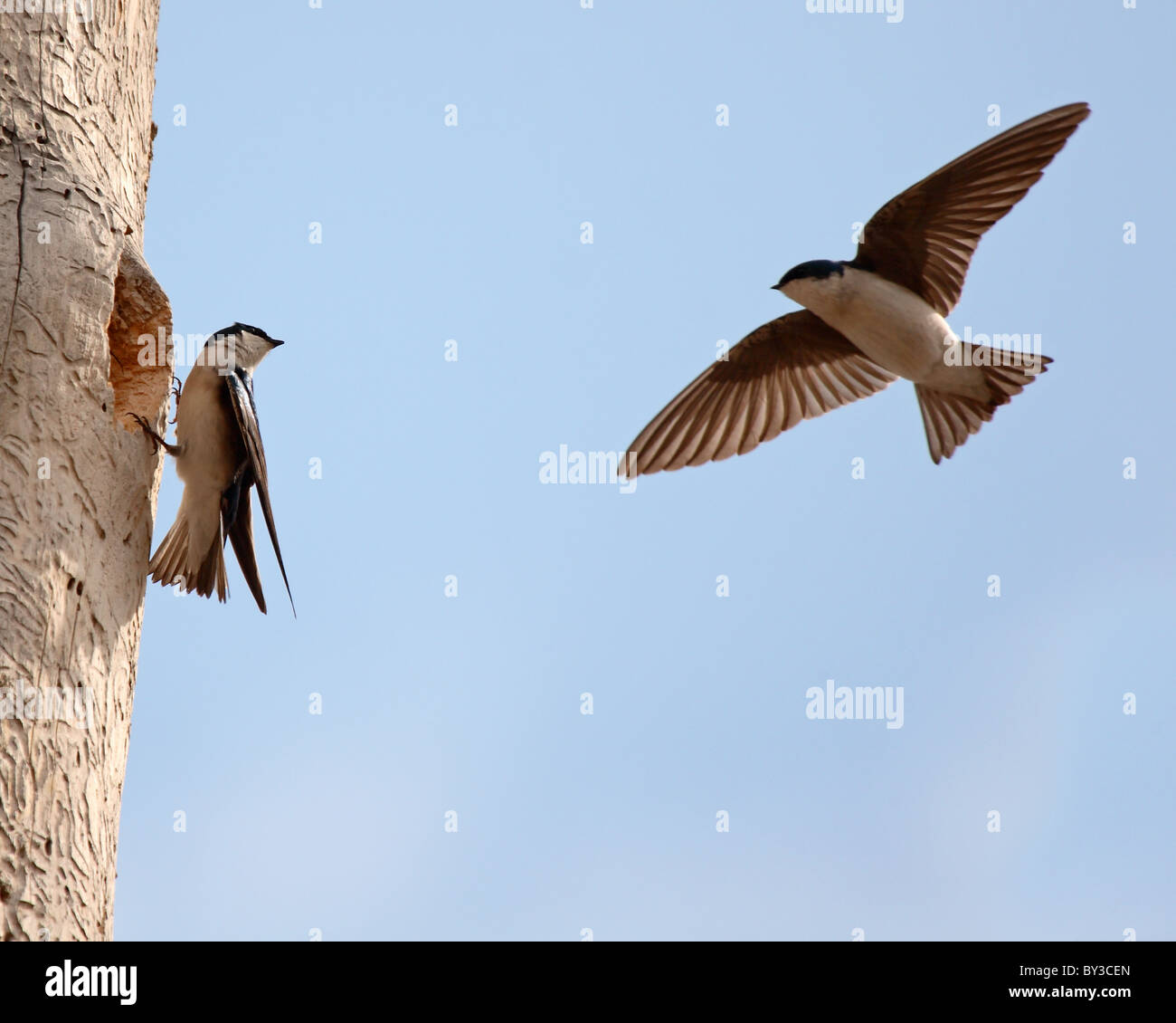 A pair of Tree Swallow neighbors checking in outside a nest cavity. Stock Photo