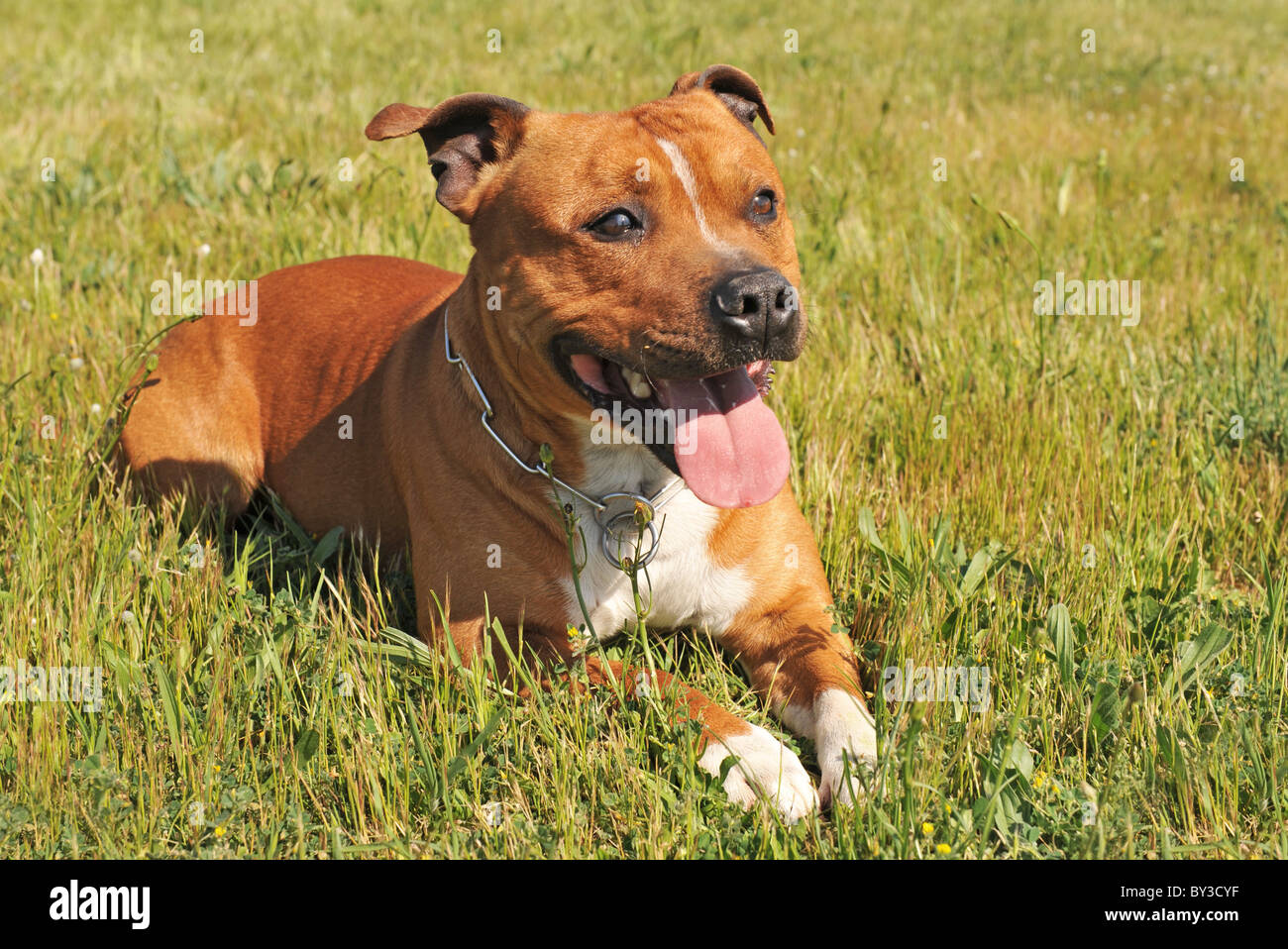 portrait of a staffordshire bull terrier laid down in the grass - Stock Image