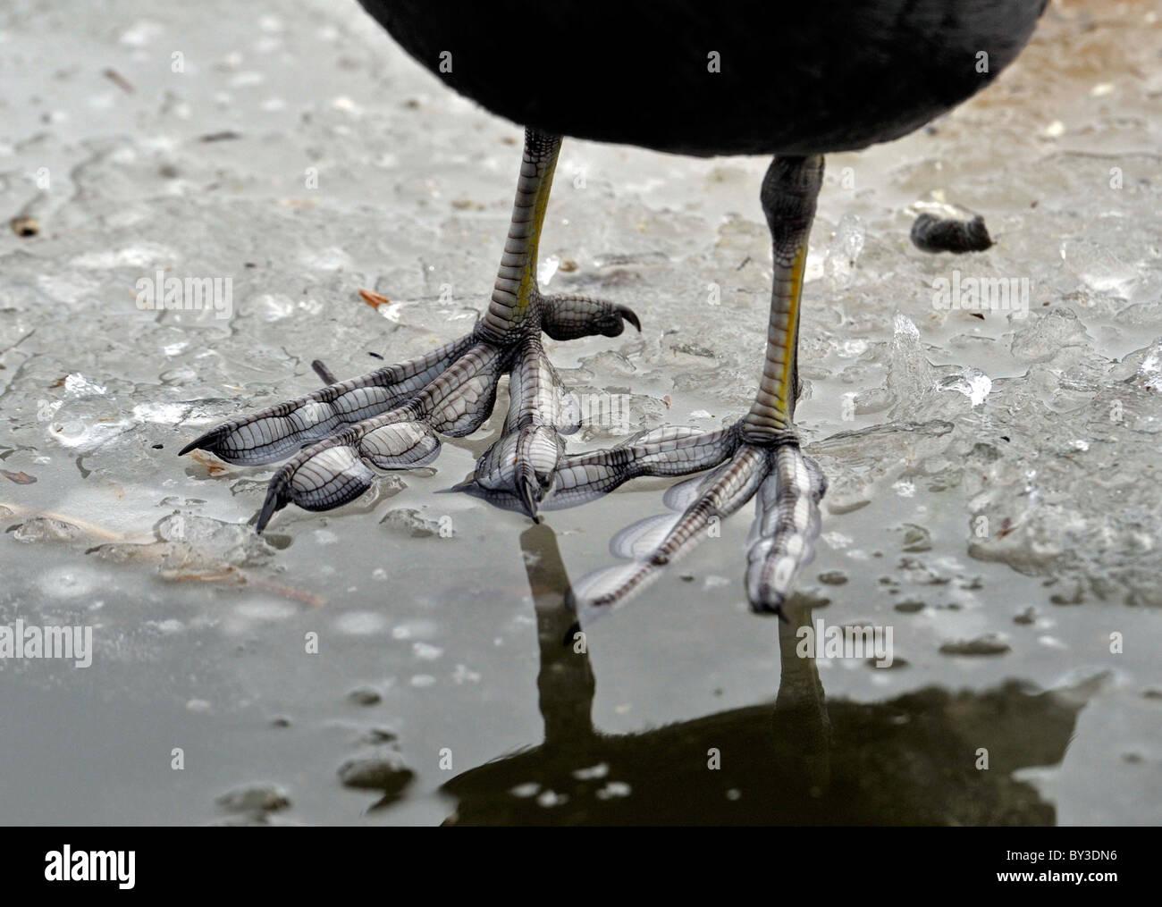 Types of Bird's feet. On ice. LOBED FEET. COOT. - Stock Image