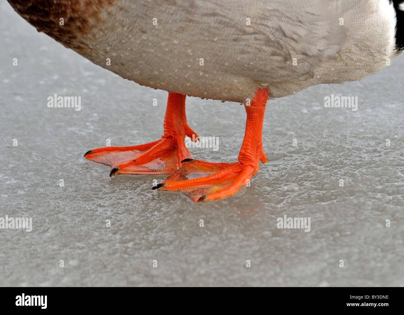 Types of Bird's feet. On ice. DUCK. WEBBED FEET - Stock Image