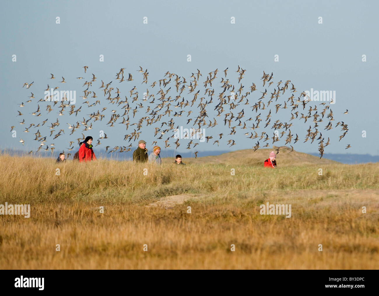 FLOCK OF KNOT FLY OVER THE HEADS OF A FAMILY WALKING ON THE DUNES.Calidris canutus. French: Bécasseau maubèche - Stock Image