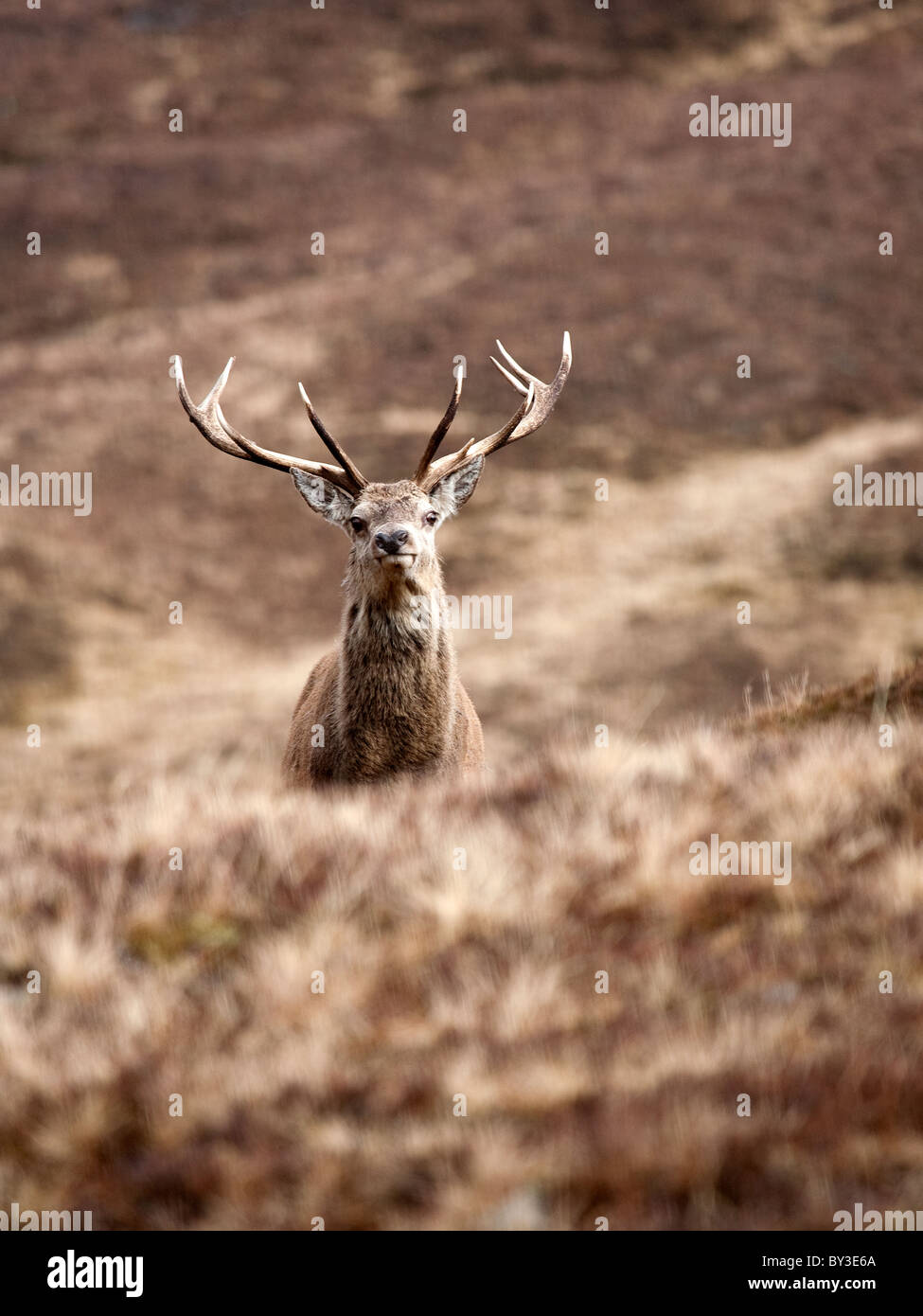 Red Deer Stag Cervus elaphus alone in the Scottish Highlands on a cold winter day in the hills - Stock Image