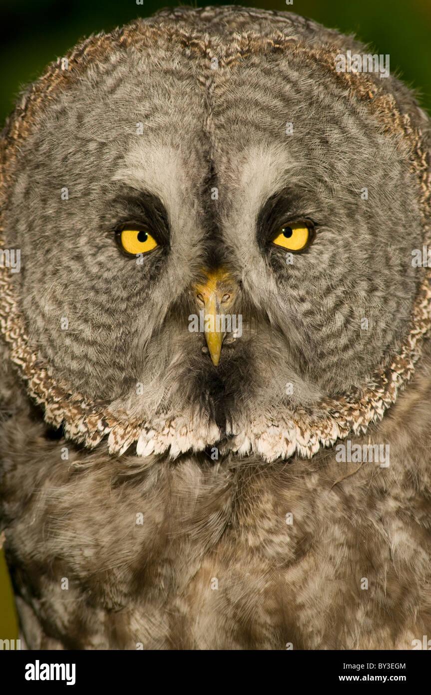 Great Grey Owl or Lapland Owl, Strix nebulosa - Stock Image