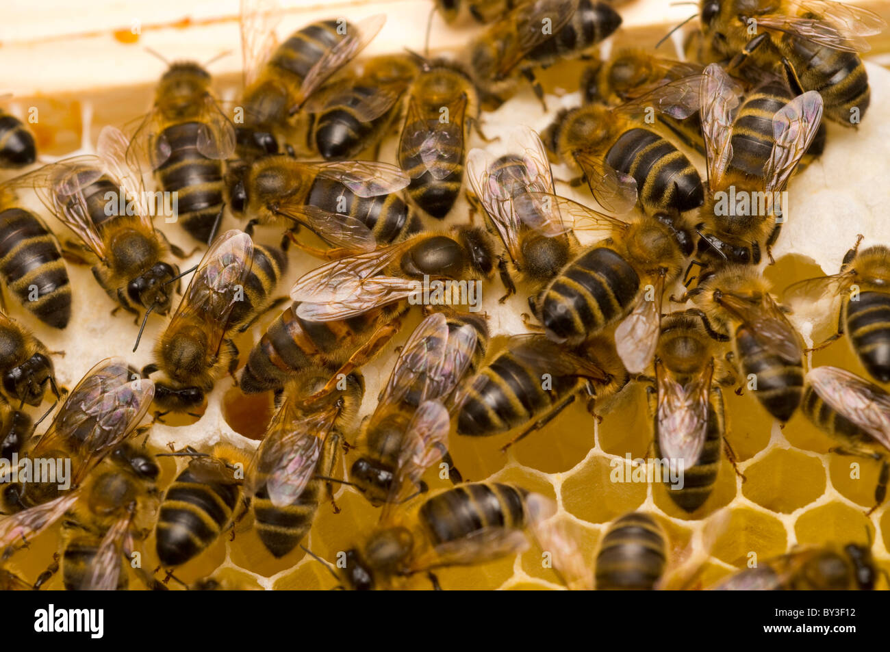 QUEEN BEE Honeybees Apis mellifera - Stock Image