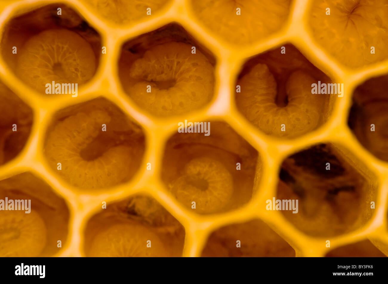 Bee Larvae Honeybees Apis mellifera - Stock Image
