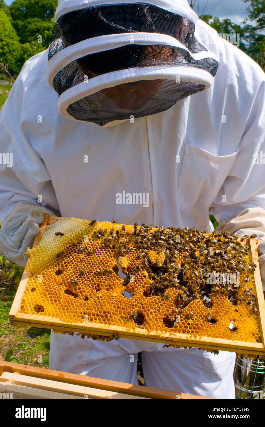 Beekeeper Honeybees Apis mellifera (model released) - Stock Image