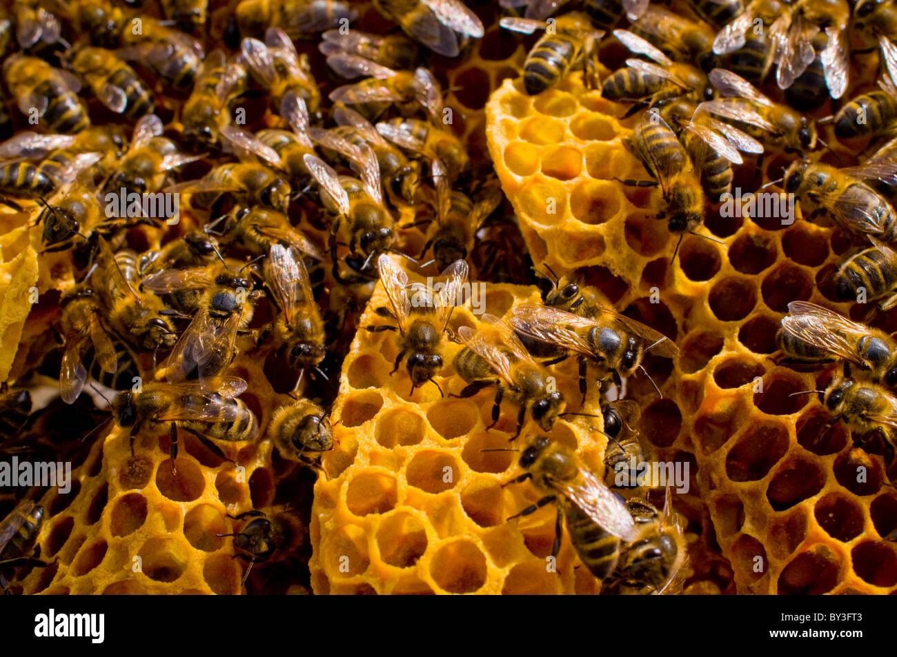 Honeybees Apis mellifera - Stock Image
