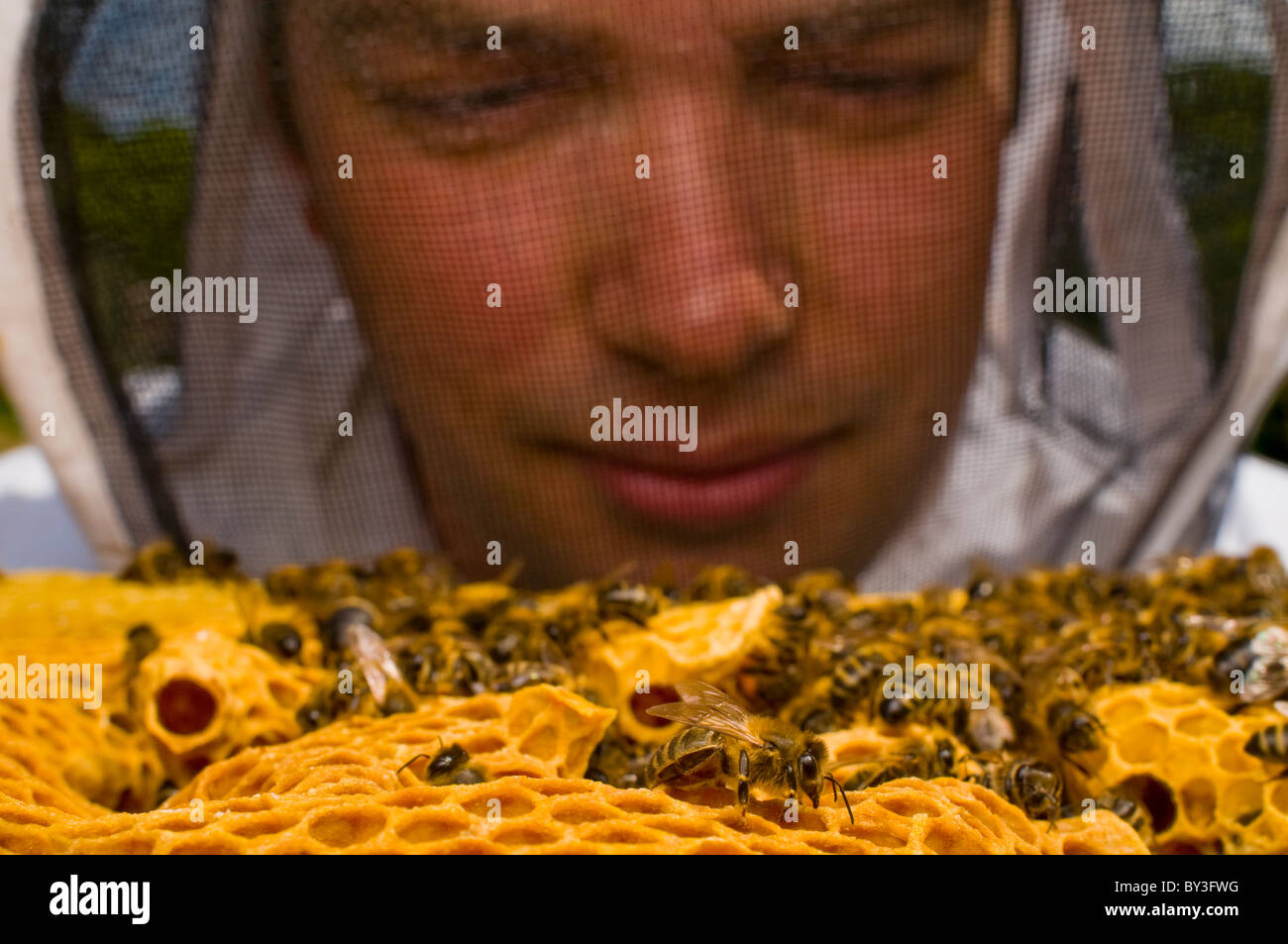 Beekeeper Honeybees Apis mellifera - Stock Image