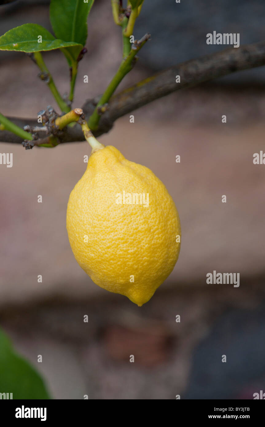 Citron jaune et feuilles vertes, lemon and green leaves - Stock Image
