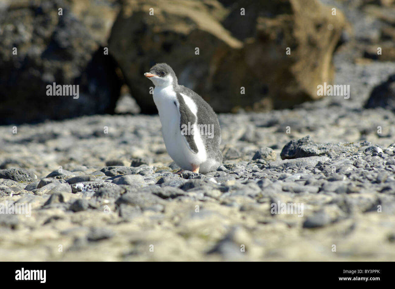 Baby Gentoo penguin Pygoscelis papua at Brown Bluff, Tabarin Peninsula, Antarctica - Stock Image