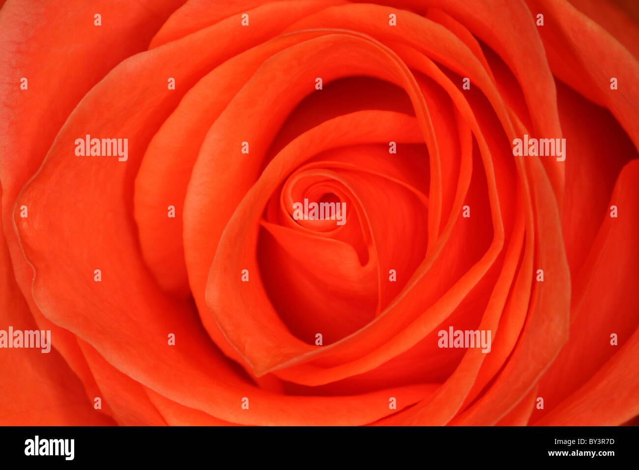 Orange Rose petals pattern - Stock Image