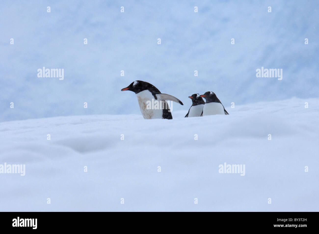 Three Gentoo penguins Pygoscelis papua in Neko Harbor, Andvord Bay, Antarctic Peninsula, Antarctica - Stock Image