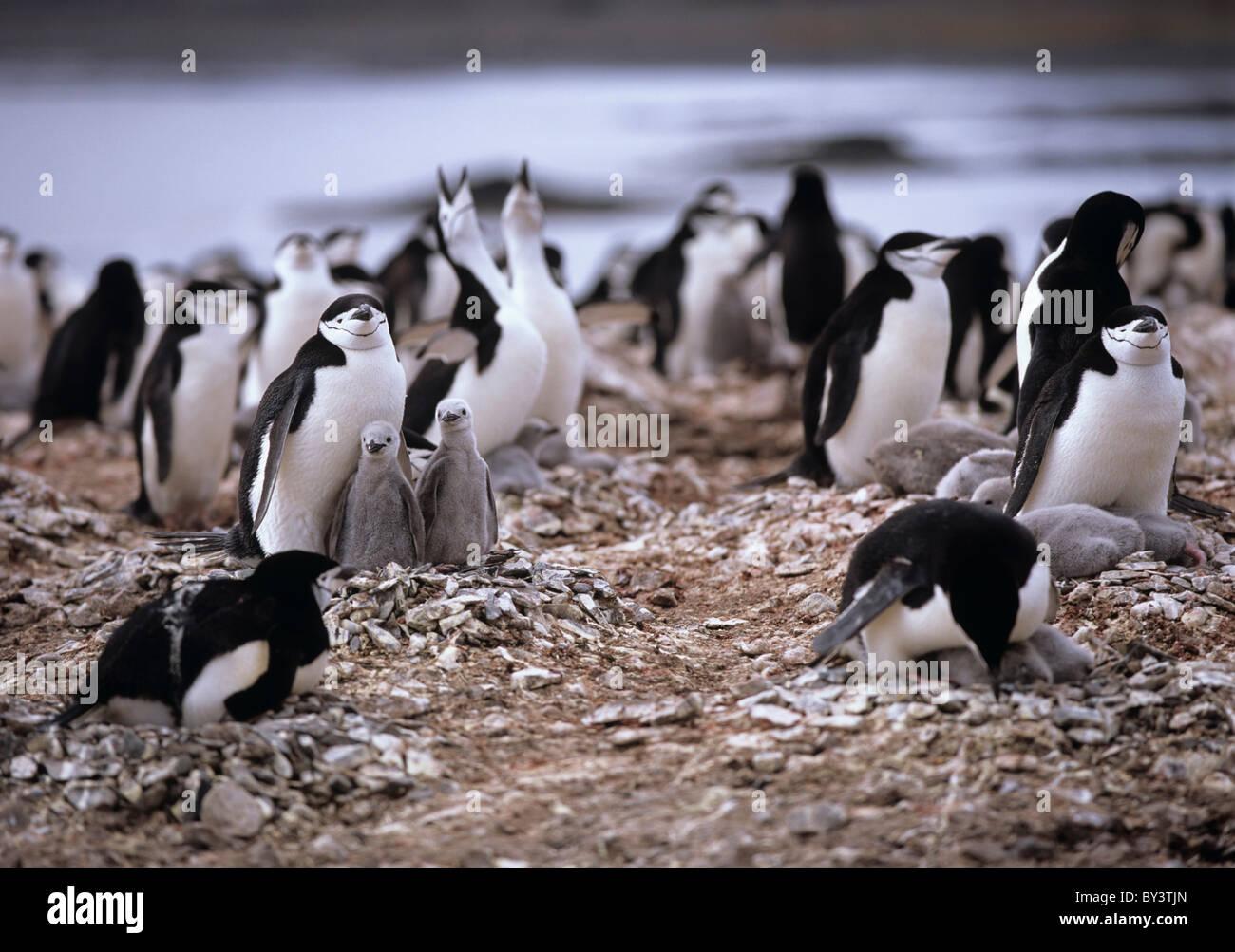 Colony of Chinstrap penguins Pygoscelis Antarctica, Antarctic Peninsula, Antarctica - Stock Image
