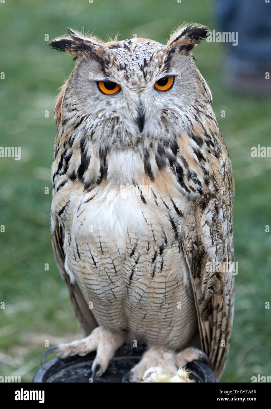 Owl At The Wickerman Festival Butser Farm Sussex UK - Stock Image