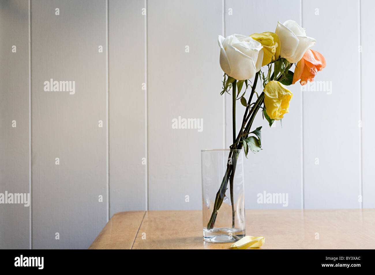 Dying roses - Stock Image