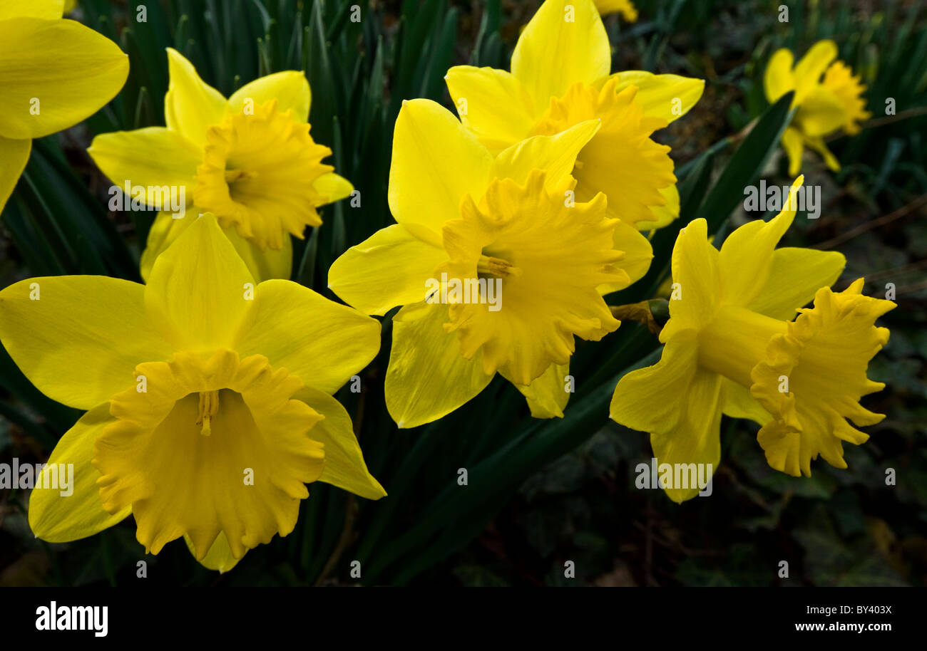 Spring Daffodils close up, Narcissus, daffodil garden, New Jersey, USA, closeup springtime Stock Photo