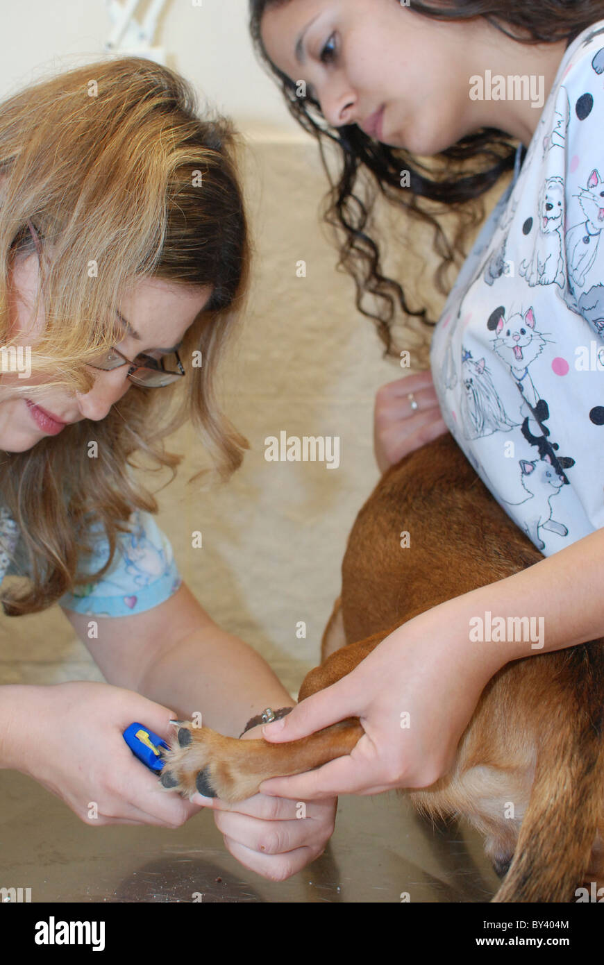 A female vet and aid clip a dog's nails - Stock Image