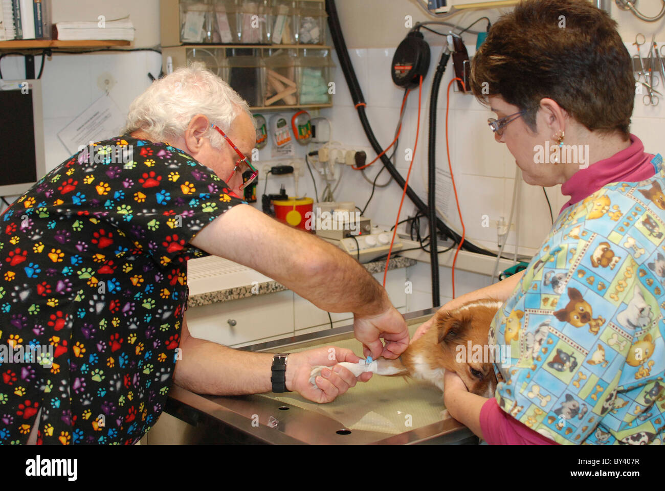 Vet's prepare a dog for surgery inserting an infusion in the dog's leg - Stock Image