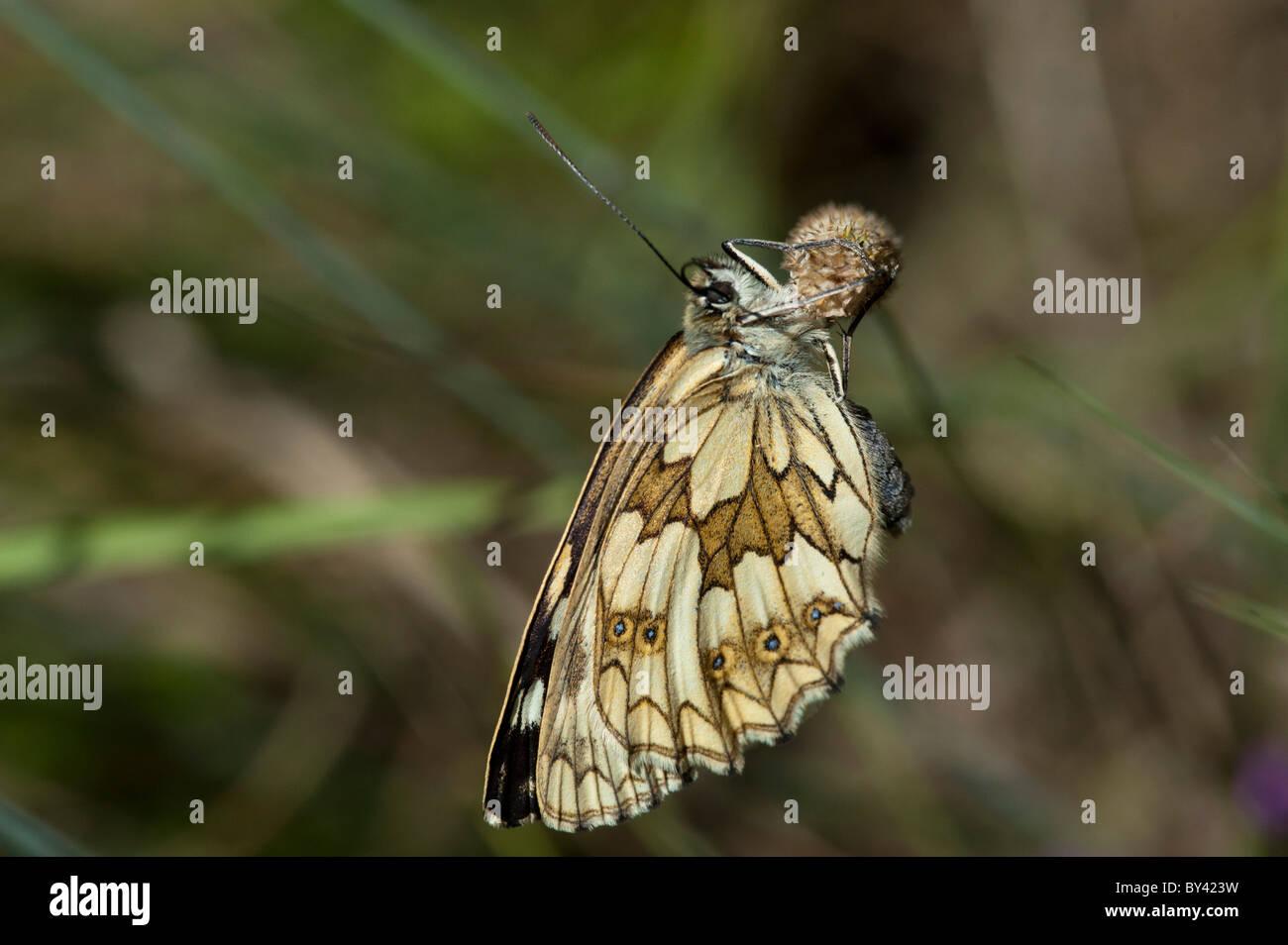 Marbled White butterfly (Melanargia galathea), female Stock Photo
