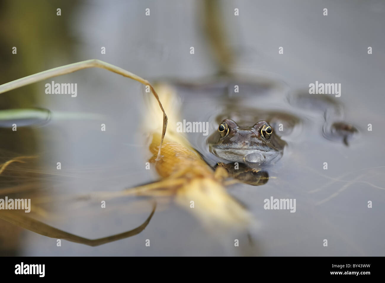 Common frog (Rana temporaria) male awaiting female at the surface of the water Stock Photo