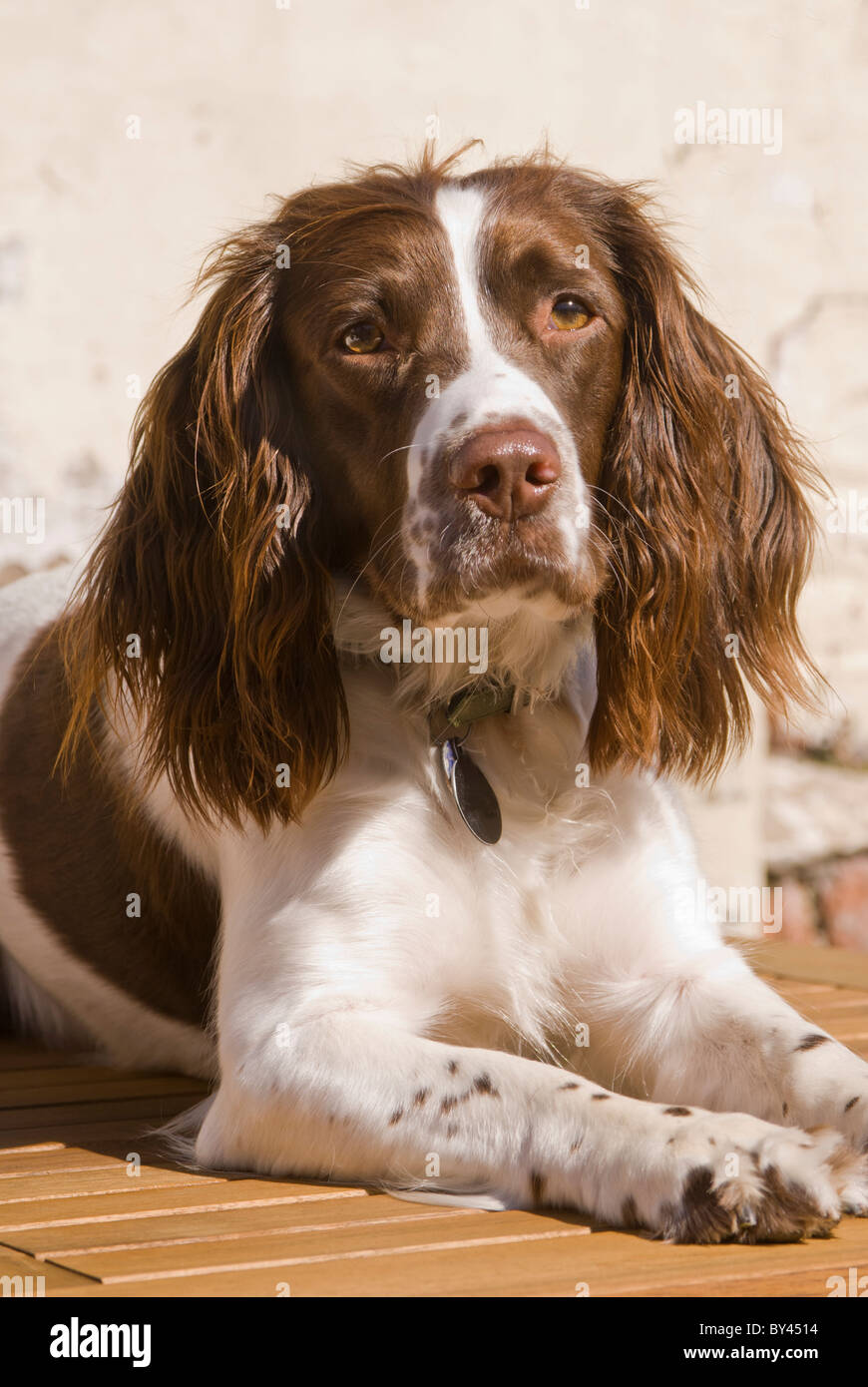 english springer spaniel liver or brown and white young female or