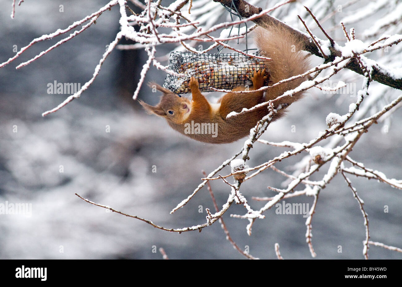 red squirrel(sciurus vulgaris) feeding on a nut feeder in conifer forest,cooley,co. Louth,Ireland - Stock Image