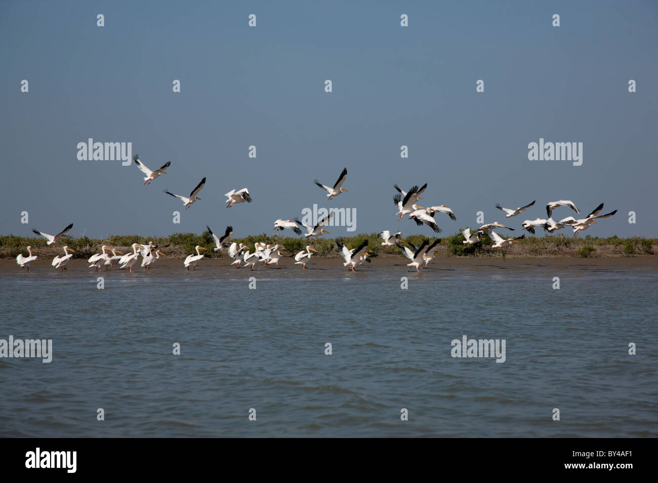 A groupf of great white pelican ( pelecanus onocrotalus)  birds in the Creek area of Gujarat, india - Stock Image