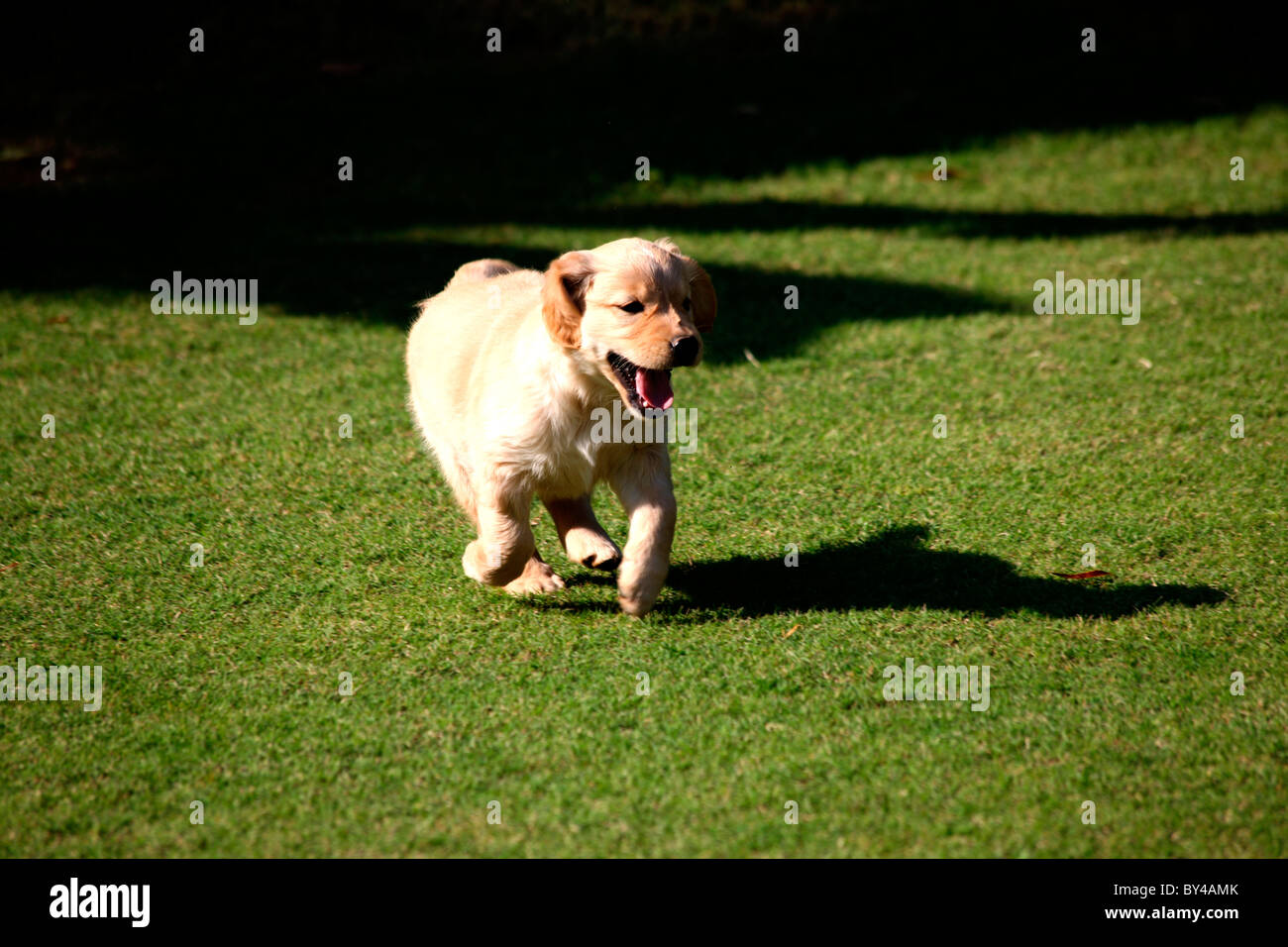 A Golden Retriever Puppy Running On Lawan Stock Photo 33902307 Alamy