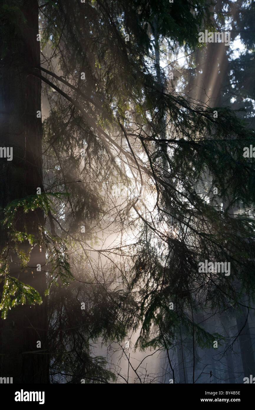 Morning sunlight shining through coniferous branches of spruce tree - Stock Image