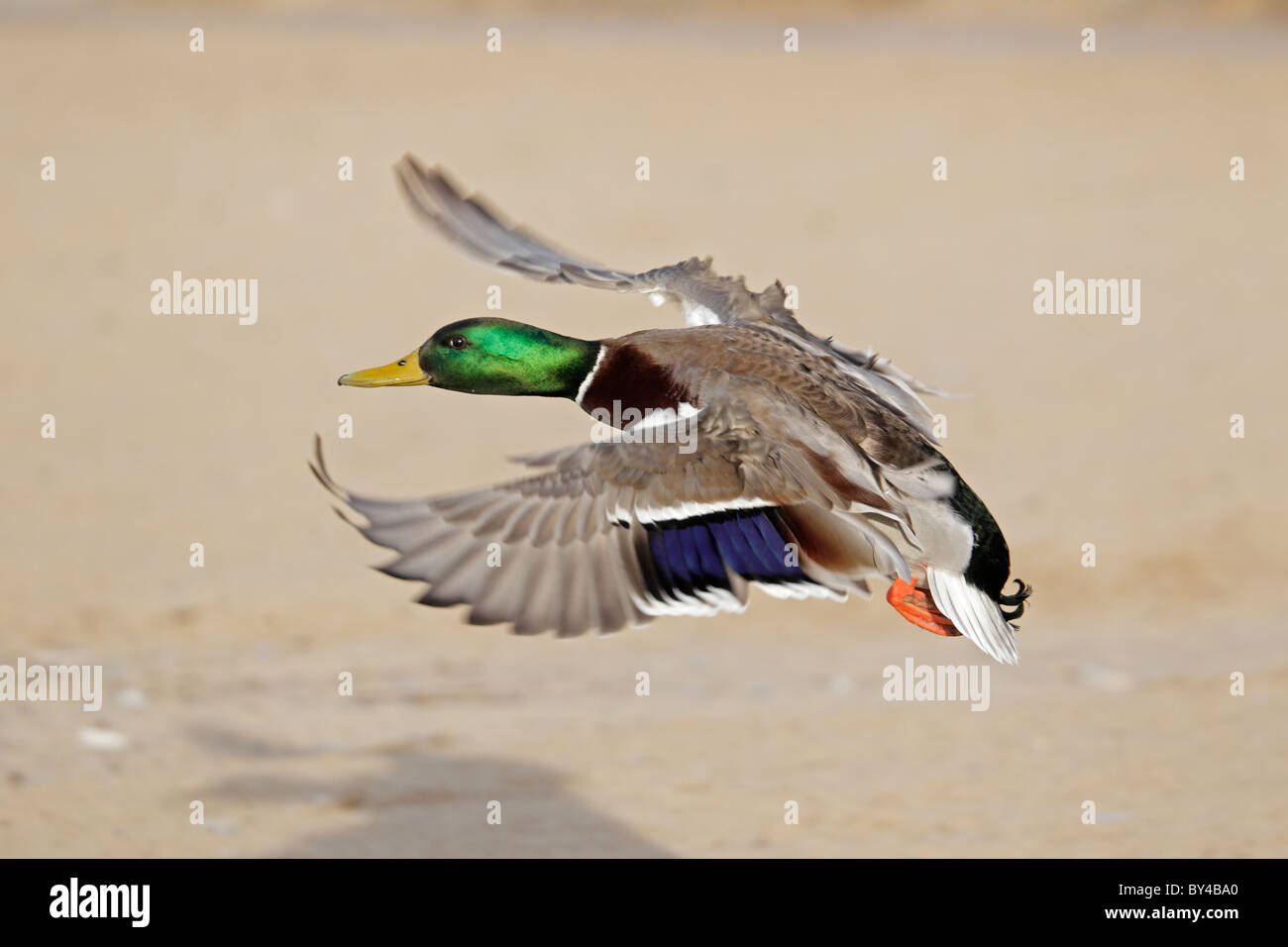 Drake Mallard in flight - Stock Image